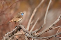 Slavik modracek - Luscinia svecica - Bluethroat 8626