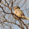 Sovice krahujova - Surnia ulula - Northern Hawk Owl 0088