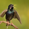 Spacek obecny - Sturnus vulgaris - European Starling 4839