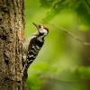 Strakapoud maly - Dendrocopos minor - Lesser Spotted Woodpecker 4298