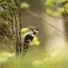 Strakapoud maly - Dendrocopos minor - Lesser Spotted Woodpecker 8865