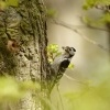 Strakapoud maly - Dendrocopos minor - Lesser Spotted Woodpecker 8882