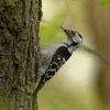 Strakapoud maly - Dendrocopos minor - Lesser Spotted Woodpecker 8961
