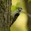 Strakapoud maly - Dendrocopos minor - Lesser Spotted Woodpecker 8969