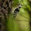 Strakapoud maly - Dendrocopos minor - Lesser Spotted Woodpecker 9561