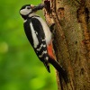 Strakapoud velky - Dendrocopos major - Great Spotted Woodpecker 1071
