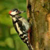 Strakapoud velky - Dendrocopos major - Great Spotted Woodpecker 2057