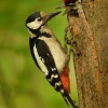 Strakapoud velky - Dendrocopos major - Great Spotted Woodpecker 2426