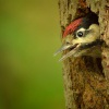 Strakapoud velky - Dendrocopos major - Great Spotted Woodpecker 2466