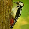 Strakapoud velky - Dendrocopos major - Great Spotted Woodpecker 2813