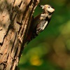 Strakapoud velky - Dendrocopos major - Great Spotted Woodpecker 4772