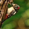 Strakapoud velky - Dendrocopos major - Great Spotted Woodpecker 4777