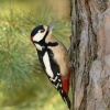 Strakapoud velky - Dendrocopos major - Great Spotted Woodpecker 7666