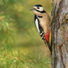Strakapoud velky - Dendrocopos major - Great Spotted Woodpecker 7678