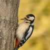 Strakapoud velky - Dendrocopos major - Great Spotted Woodpecker 8358