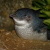 Tucnak nejmensi - Eudyptula minor - Little Penguin - korora 7465