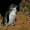 Tucnak nejmensi - Eudyptula minor - Little Penguin - korora 7468a