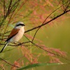 Tuhyk obecny - Lanius collurio - Red-backed Shrike 5916