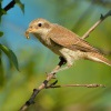 Tuhyk obecny - Lanius collurio - Red-backed Shrike 8396