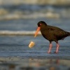 Ustricnik promenlivy - Haematopus unicolor - Variable oystercatcher - torea 4534