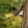 Veverka obecna - Sciurus vulgaris - Red squirrel 7577
