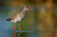 Vodous rudonohy - Tringa totanus - Common Redshank 2481