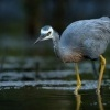 Volavka belolici - Egretta novaehollandiae - White-faced Heron 9862