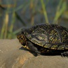 Zelva bahenni - Emys orbicularis - European Pond Turtle 2003